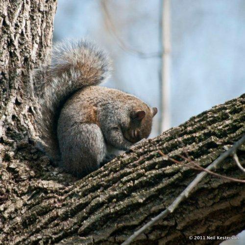 Sleeping_squirrel_k208531