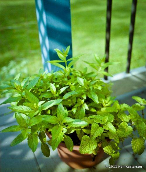 Herbs_2011-0628_bronreala106re