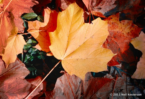 Yellow_leaf_with_red-henryclay