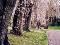 More blooming cherry blossoms