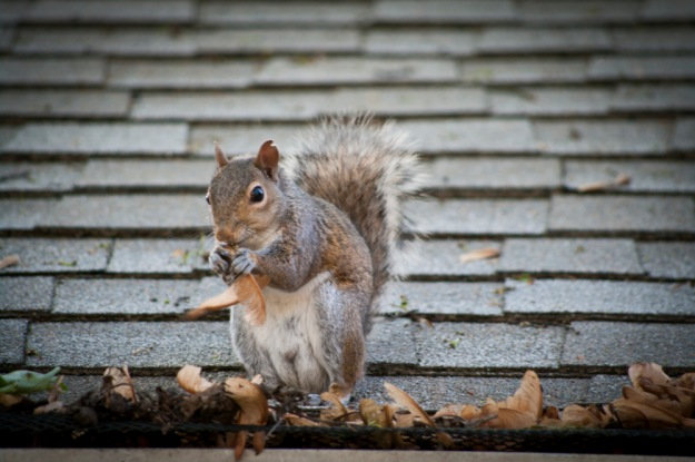 """Squirrel eating a """"helicopter.""""  Notice the little nip out of his ear."""