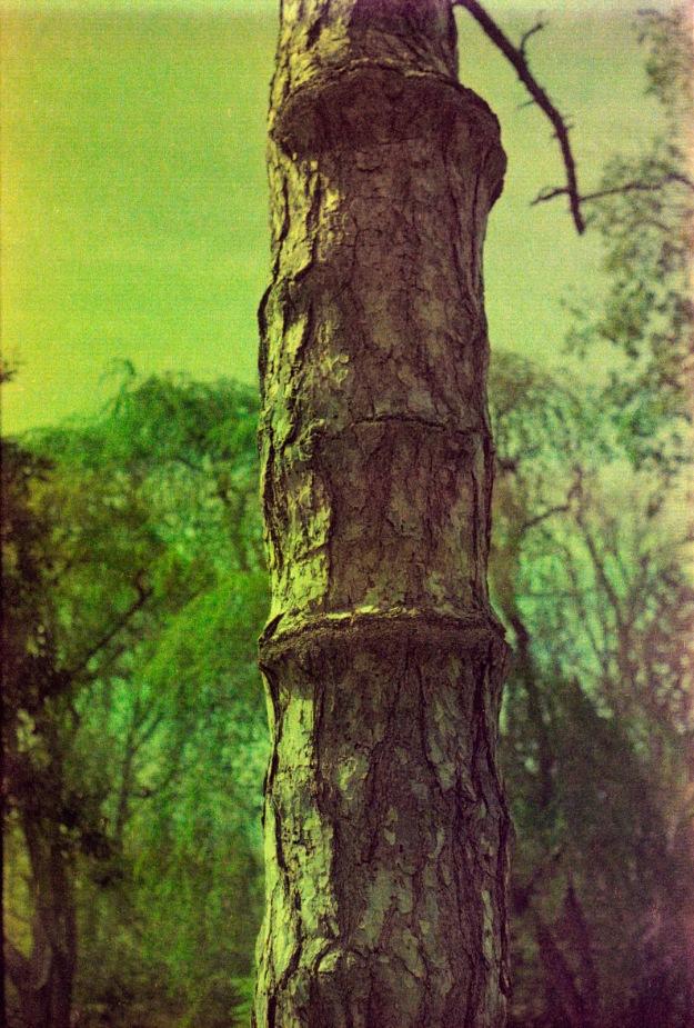 Tree  (Fed 3b, Kodak Royal Gold 400 expired)