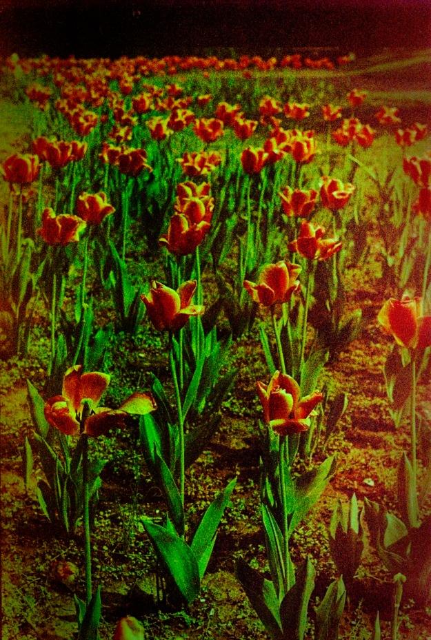 Tulip Row  (Fed 3b, Kodak Royal Gold 400 expired)