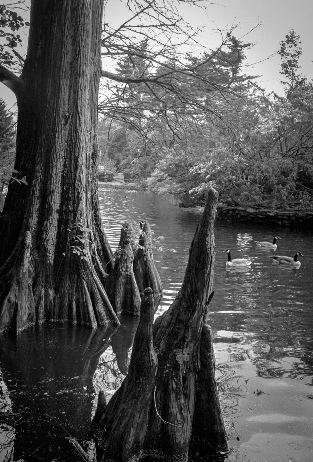 Geese and Cypress