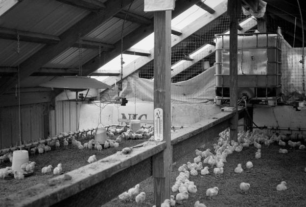 Chicks-Clark Farm-2014-0930 VoigtVitessa Del100-12.jpg